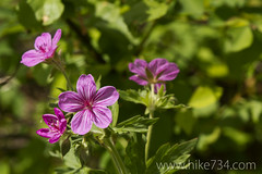 "Sticky Geranium • <a style=""font-size:0.8em;"" href=""http://www.flickr.com/photos/63501323@N07/5924120591/"" target=""_blank"">View on Flickr</a>"