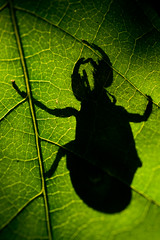 Lurker (jon_beard) Tags: shadow macro closeup bug leaf scary silohuette pinchers