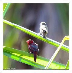 Crimson Finch (Ross_M) Tags: birds nikon australia darwin northernterritory passeriformes estrildidae holmesjungle crimsonfinch neochmiaphaeton d7000