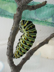 Black Swallowtail on Branch