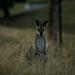 Tchauzinho do canguru!!!