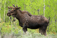 Young Shiras Bull Moose  _27W9673a (DennisKirkland) Tags: wild usa male nature animal standing mammal evening spring sundown wildlife young entrance moose bull velvet sage northamerica aspens wyoming antler grandtetonnationalpark shiras moosejunction