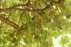 grapes growing overhead (jkenning) Tags: italy church europe basilica grapes grapevine ravenna europetrip 2011 santapollinarenuovo basilicaofsantapollinarenuovo basilicadisantapollinarenuovo