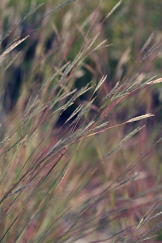 Photo - Big Bluestem