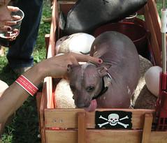 Peruvian Dog (Dubi Kaufmann) Tags: dog de wagon skull tour fat hairless peruvian tourdefat