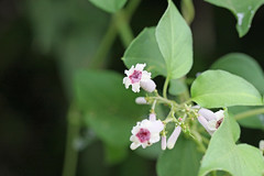 新治市民の森のヘクソカズラ(Flower, Niiharu Community Woods, Yokohama, Japan)