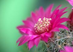 Mammillaria zeilmanniana- 2010 (30) (asac_cactus) Tags: cactus mammillaria zeilmanniana asac mammillariazeilmanniana