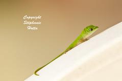 Green gecko 1 (s.hotta) Tags: seychelles praline babygecko greengecko lezarverphelsumaastriata