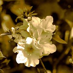 Une fleur pour vous !! (Martha MGR) Tags: flowers bw nature square azalea monocrome flres mmgr canoneosdigitalrebelxs marthamgr doublyniceshot ringexcellence marthamariagrabnerraymundo marthamgraymundo artistoftheyearlevel3