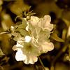 Une fleur pour vous !! (Martha MGR) Tags: flowers bw nature square azalea monocrome flôres mmgr canoneosdigitalrebelxs marthamgr doublyniceshot ringexcellence marthamariagrabnerraymundo marthamgraymundo artistoftheyearlevel3