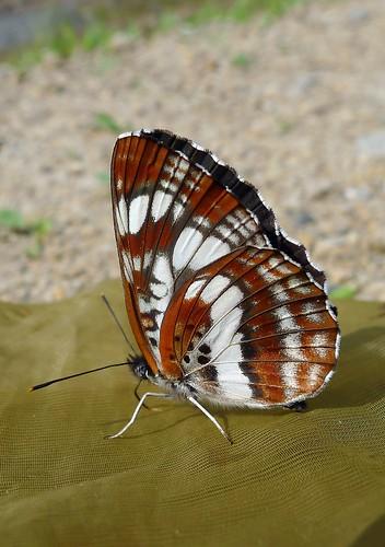Neptis andetria (Fruhstorfer 1912)