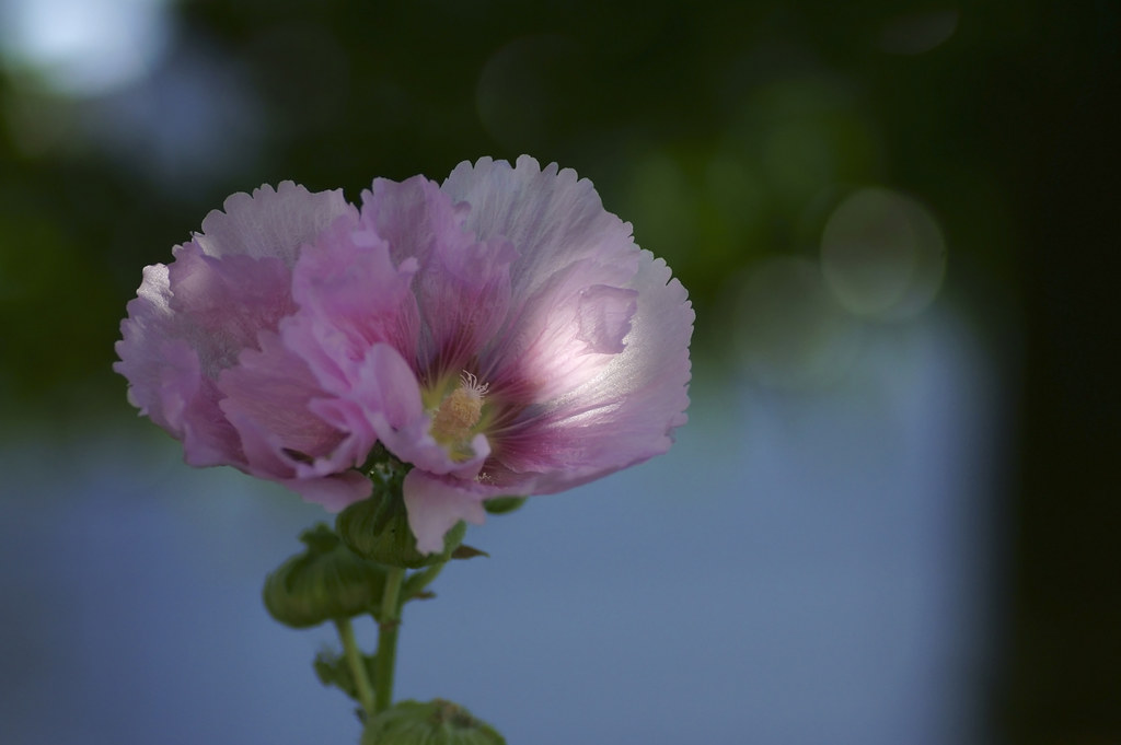 Althaea rosea
