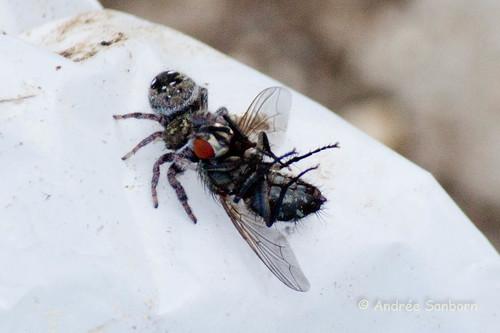 Phidippus clarus Eats Sarcophaga bullata - 1