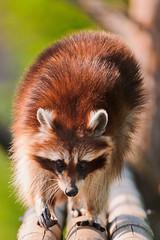 [フリー画像] 動物, 哺乳類, アライグマ, 201107251100