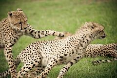 Cheetah Blur (randon) Tags: africa camp kenya mara cheetah masai governors masaimara governorscamp flickrbigcats