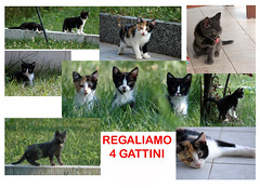 Copia di gattini (samuele striatto) Tags: cats cat chat gato katze gatto gatti mici cuccioli micetti gattini katchen