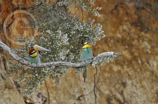 Abejaruco 9 (Merops apiaster)