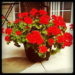 Mom's Giant Geraniums (Vickie @ In My Head Studios) Tags: red plant green monster leaf patio geranium ipodphoto allrightsreserved instagram victoriaporterinmyheadstudios donotpin