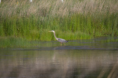 Summertime fun-12.jpg (raggedyandy321) Tags: heron nature water grass birds reflections swan fishing pond fuzzy signet rare blackbird greatblueheron peacefull beachbird birdsfishing