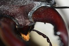 DSC_3438 (Roloff) Tags: italy macro insect geotagged italia jaw piemonte jaws cuneo piedmont langhe lucanuscervus kaken kaak vliegendhert nikonbr2reversering