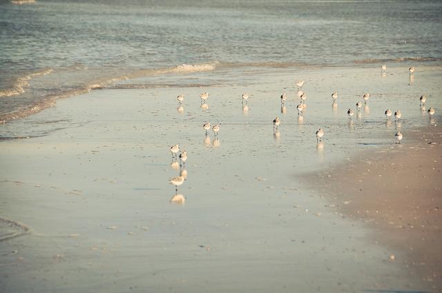 the sandpiper's dance