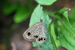 瀬上市民の森のヒメウラナミジャノメ(Butterfly, Segami Community Woods)