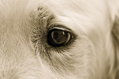 I C U (Guido Havelaar) Tags: dog chien macro cute co dogs cane closeup puppy hond retriever 100mm perro pup goldenretrieverpup caneimmagini fotosdoco fotosdelperro