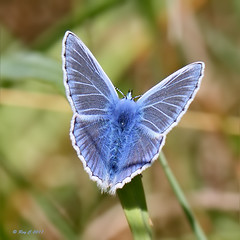 Common Blue (roychurchill (local patch birder)) Tags: butterfly insect devon commonblue northdevon instow canon7d canon100mmlismacro