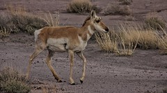Wildlife in the Painted Desert, Arizona (Imagineering My Way) Tags: blue trees houses homes arizona sky usa tourism unitedstates desert wildlife sedona brush painteddesert canon10d redrocks ferns canoneos petroglyphs archeological petrifiedforestnationalpark topaz buttes cycads chinle paleontologists topazlabs ginkgoes spanishexplorers topazadjust latetriassic