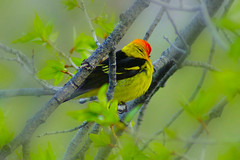 Nap Time (Aspenbreeze) Tags: bird nature wildlife aviary wyoming tetons avian tanager westerntanager naturesfinest yellowbird tetonnationalpark aspenbreeze