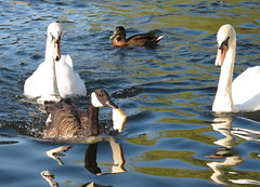I think you can share that. (mikesandra4) Tags: water birds feathers ducks swans windsor riverthames wildbirds riverscene