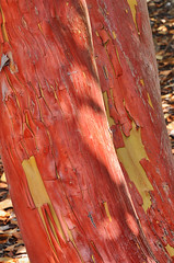 Strawberry Tree trunks (dspindle) Tags: tree nature bark treebark strawberrytree pacificmadrone arbutusmenziesii