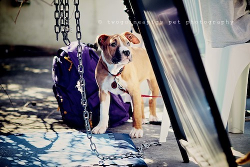 American Staffy by twoguineapigs pet photography,