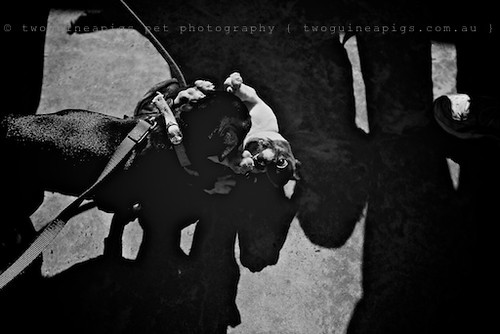 Puppies play by twoguineapigs pet photography