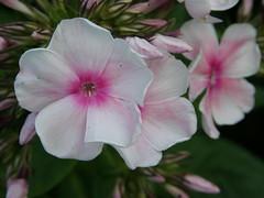 Phlox 079 (lilli2de) Tags: light sunshine licht july juli sonnenschein niceweather schneswetter inmymothersgarden 072011 inmeinermuttersgarten