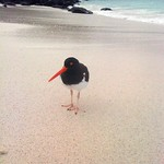 "Oystercatcher <a style=""margin-left:10px; font-size:0.8em;"" href=""http://www.flickr.com/photos/14315427@N00/6007185130/"" target=""_blank"">@flickr</a>"