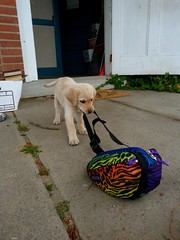 Whately MA (Rusty Clark - On the Air M-F 8am-noon) Tags: colors bag puppy many dragging