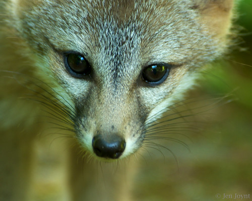 Fox Kit Close Up
