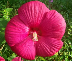Hibicus (redheadrdn) Tags: pink hot flower beautiful dinner plate size hibiscus huge 2011