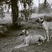 The Milton dogs, Xanzi and Qash (sloughi)