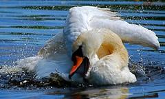 Well, my nerves are* (heinvanwersch) Tags: bird animal fauna swan wings nikon wildlife feather bathing soe hein autofocus d80 heinvanwersch mygearandme mygearandmepremium mygearandmebronze mygearandmesilver natureskingdom vigilantphotographersunite vpu2 vpu3 vpu4 vpu5 vpu6 vpu7
