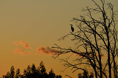 Heron After Sunset DSC_5455 by Mully410 * Images