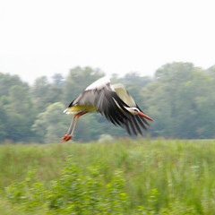 DSCN2069 anyway (pinktigger) Tags: italy bird nature italia flight takeoff stork friuli fagagna friul cicogna abigfave anawesomeshot feagne