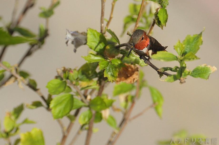 Allen's Hummingbird 081311