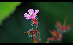 Herb Robert {Explore #42} (majestiele) Tags: flowers hairy robert water rain droplets herb flowersadminfave
