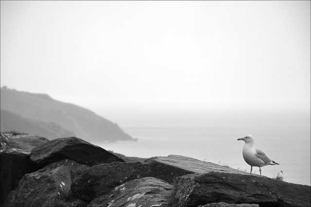 A Dingle Gull
