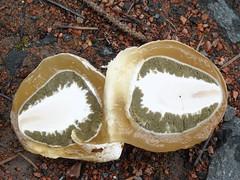 phallus impudicus (~MycoMagic~) Tags: mushroom egg fungi fungus phallus mycology stinkhorn impudicus