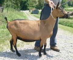 KAJON'S ITSY INDIGO - B001297055 (Erin Cooper Young Living) Tags: indigo goat doe american dairy genetics itsy oberhasli adga 110813 goat:sex=doe goat:registry=american goat:breed=oberhasli b001297055 goat:regnumber=b001297055 kajons goat:regname=kajonsitsyindigo