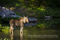 Moose Calf in Marion Lake (Free Roaming Photography) Tags: animal baby calf glaciallake grandteton grandtetonnationalpark lake mammal marionlake moose moosecalf mountain mountains nationalpark northamerica stand summer usa water west western wet wildlife wyoming young tetonvillage