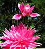 Pink & Beautiful (By My Lovely Wife) Explore Oct. 1, 2011 (Puzzler4879) Tags: ngc longisland pointshoot dahlias canonpowershot stateparks canondigital bayardcuttingarboretum bayardcuttingarboretumstatepark arboretums canonaseries floralfantasy canonphotography wonderfulphotos newyorkstateparks perfectpetals abigfave canonpointshoot pinkdahlias a580 dahliagardens canona580 canonpowershota580 powershota580 awesomeblossoms theflowerbasket amazingdetails unforgettableflowers universeofnature hollyhillbigpink longislanddahliasociety naturewithallitswonders longislandstateparks weloveallflowers level1photographyforrecreation